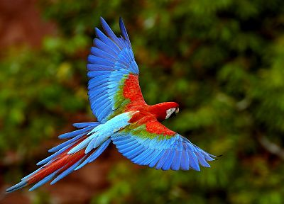multicolor, birds, parrots, Scarlet Macaws, Macaw - random desktop wallpaper