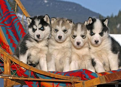 animals, dogs, puppies, husky - random desktop wallpaper