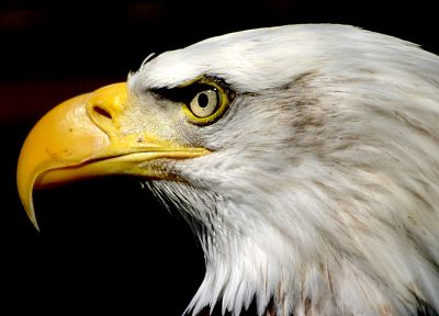 birds, animals, eagles, bald eagles - related desktop wallpaper