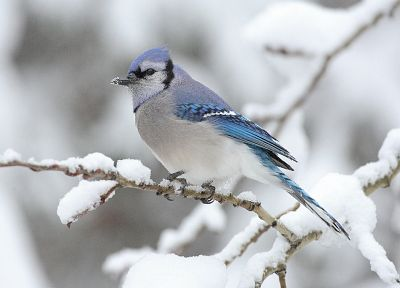 winter, snow, birds, wildlife, Blue Jay - related desktop wallpaper