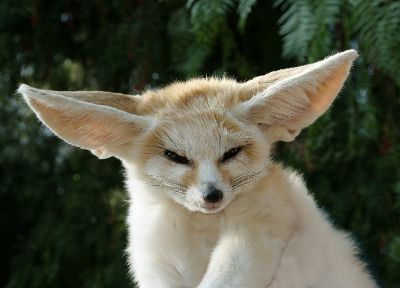 animals, fennec fox - random desktop wallpaper