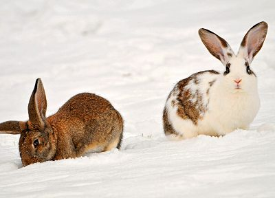bunnies, animals, rabbits - related desktop wallpaper