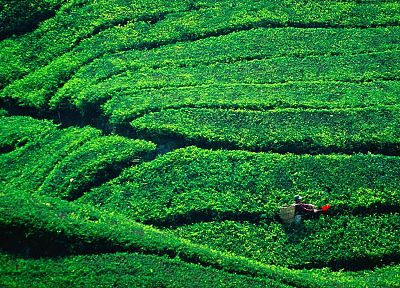 tea, Malaysia, plantation, Highlands - desktop wallpaper
