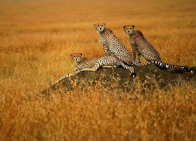 animals, cheetahs, wild cats, savanna - desktop wallpaper