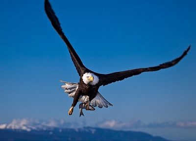 birds, wildlife, fish, eagles, bald eagles - desktop wallpaper