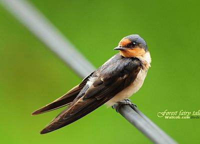 birds, animals, wildlife, swallow - desktop wallpaper