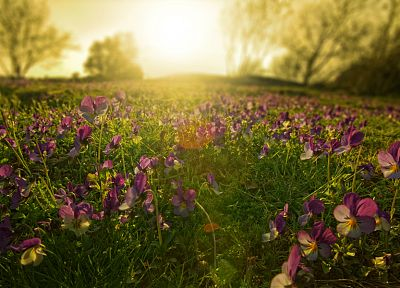 nature, flowers, pansies - random desktop wallpaper