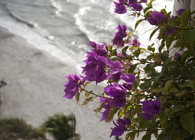 nature, flowers, shore, purple flowers, bougainvillea - related desktop wallpaper