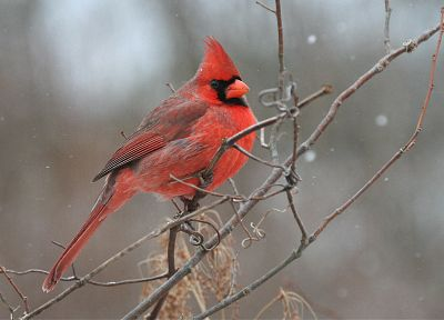 birds, cardinal, Northern Cardinal - related desktop wallpaper