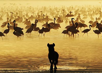 water, birds, animals, sunlight, flamingos, hyenas - desktop wallpaper