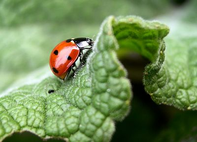 nature, animals, insects, ladybirds - random desktop wallpaper