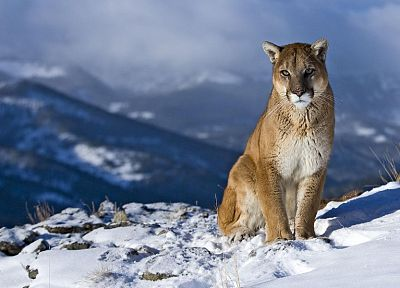nature, animals, puma, feline, snow landscapes, cougars - random desktop wallpaper