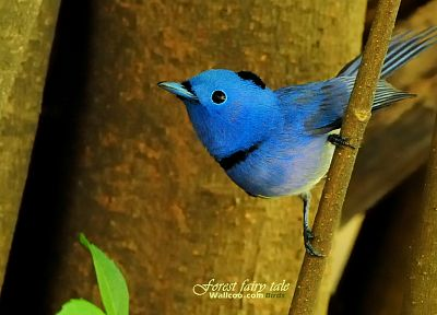 birds, animals, wildlife, Blue Flycatchers - random desktop wallpaper