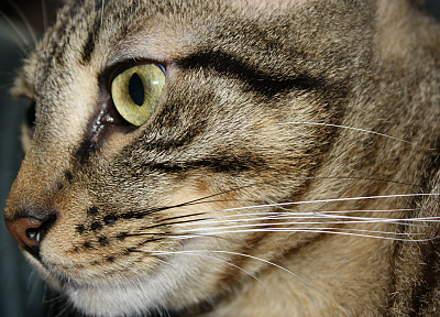 cats, animals, yellow eyes, pets, real life - related desktop wallpaper