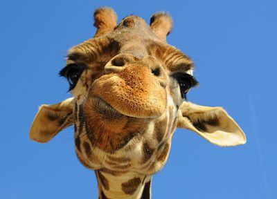 close-up, animals, giraffes - desktop wallpaper