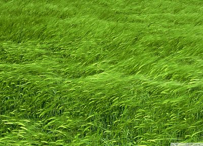 grass, wheat - desktop wallpaper