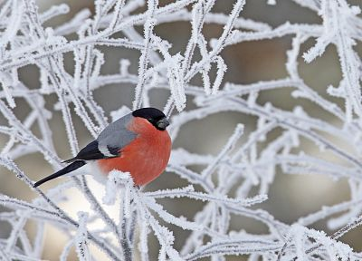 birds, animals, frozen, bullfinch, branches - related desktop wallpaper
