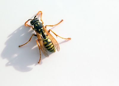 insects, wasp - random desktop wallpaper