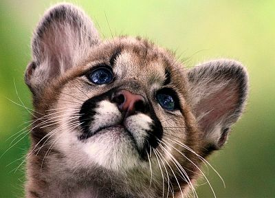 cubs, mountain lions, baby animals - related desktop wallpaper