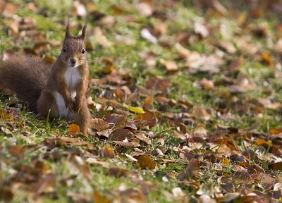 animals, grass, squirrels, fallen leaves - related desktop wallpaper