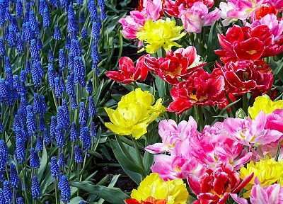 flowers, garden, tulips, Holland, hyacinths - desktop wallpaper