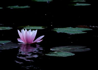 water, flowers, lily pads, lotus flower, pink flowers - desktop wallpaper