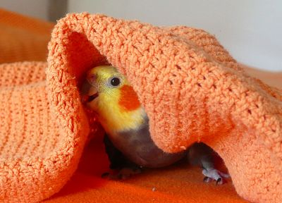 birds, parrots, blanket - desktop wallpaper