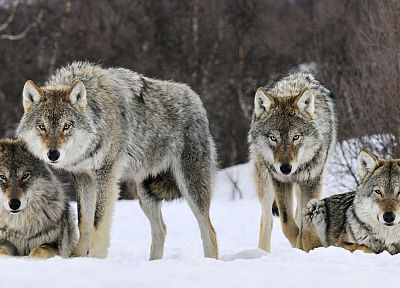 animals, gray, Norway, wolves - random desktop wallpaper