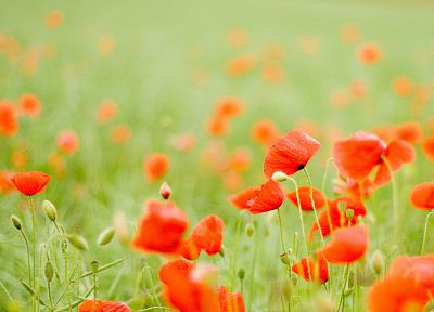 flowers, poppy, depth of field - desktop wallpaper