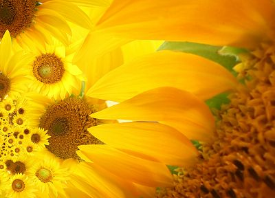 flowers, yellow, sunflowers, yellow flowers - random desktop wallpaper