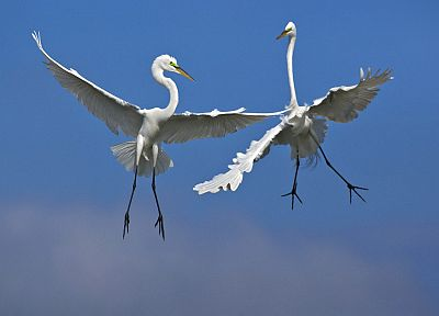 birds, fighting, Florida, Venice, male, flight, egrets - desktop wallpaper