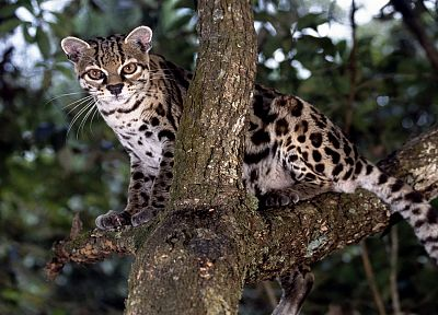 animals, bokeh, branches, Margay - random desktop wallpaper