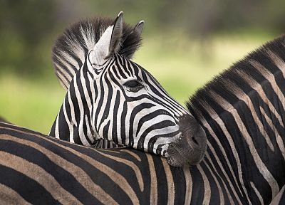 animals, zebras, South Africa - desktop wallpaper