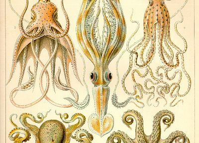 squid, octopuses, infographics - desktop wallpaper