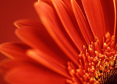 red, flowers, flower petals, gerbera flower, gerber daisy - random desktop wallpaper