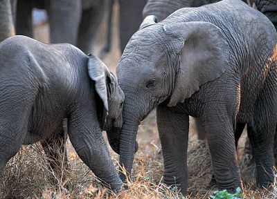 animals, elephants, baby elephant, baby animals - random desktop wallpaper