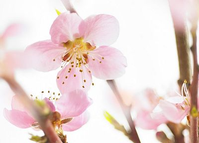 close-up, cherry blossoms, flowers, pink, white background - random desktop wallpaper