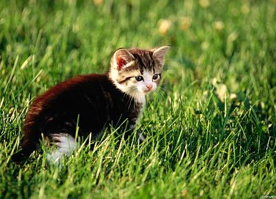 cats, animals, grass, kittens - desktop wallpaper