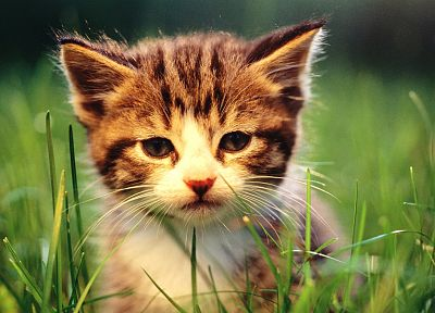 cats, animals, grass, kittens, baby animals - related desktop wallpaper