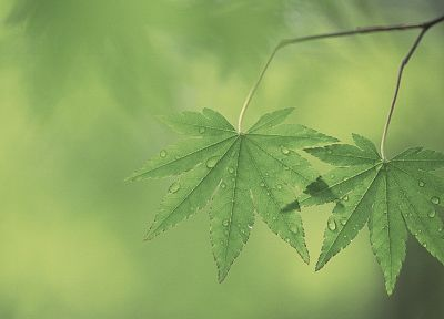 green, nature, leaf, leaves, plants, water drops - related desktop wallpaper