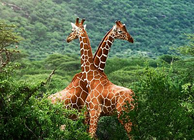 nature, trees, animals, giraffes - related desktop wallpaper