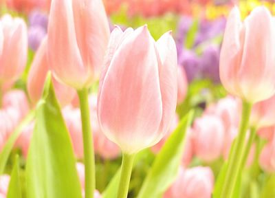 flowers, tulips - desktop wallpaper